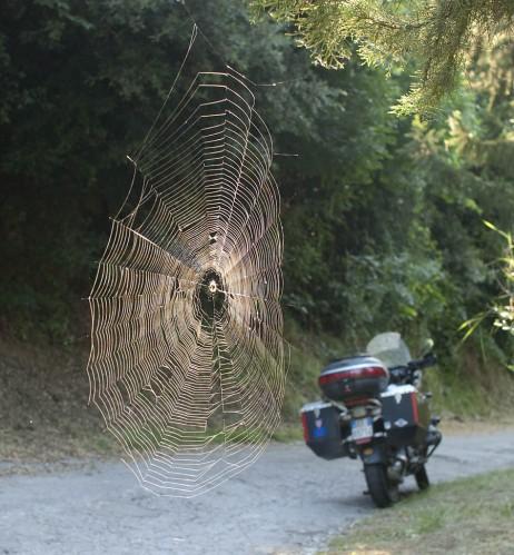 Edderkopp i morgenlys